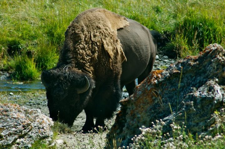Bizon in Yellowstone National Park in Amerika