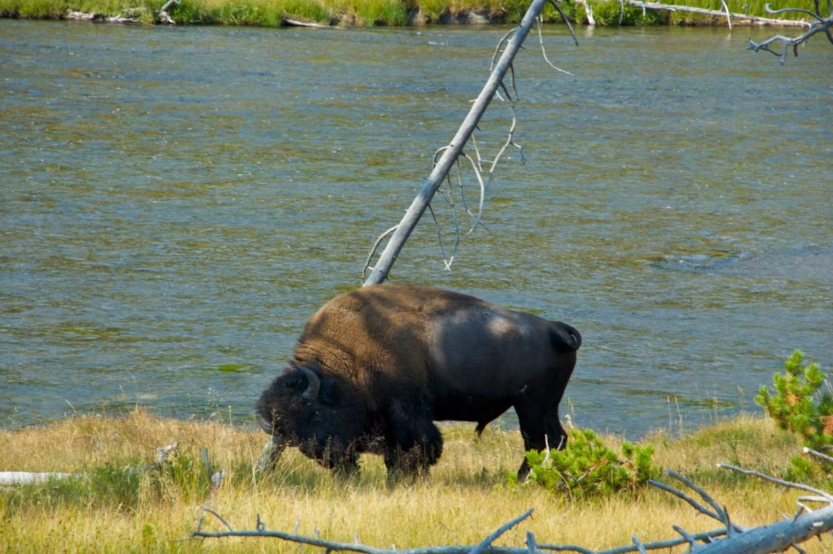 Bizon Yellowstone National Park