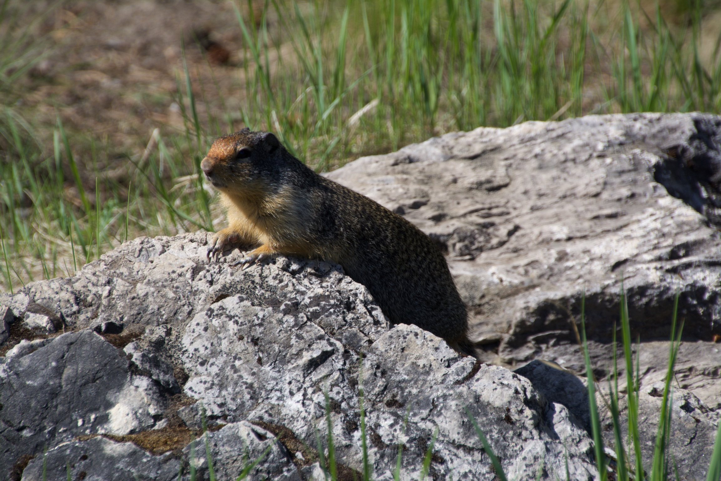 Groundhog, Canada