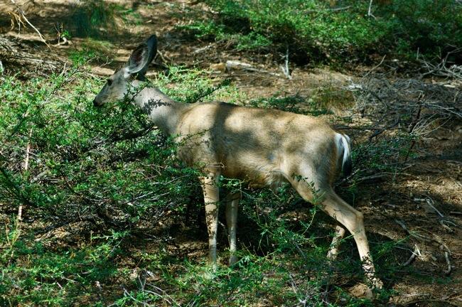 Deer in Sequoia National Park