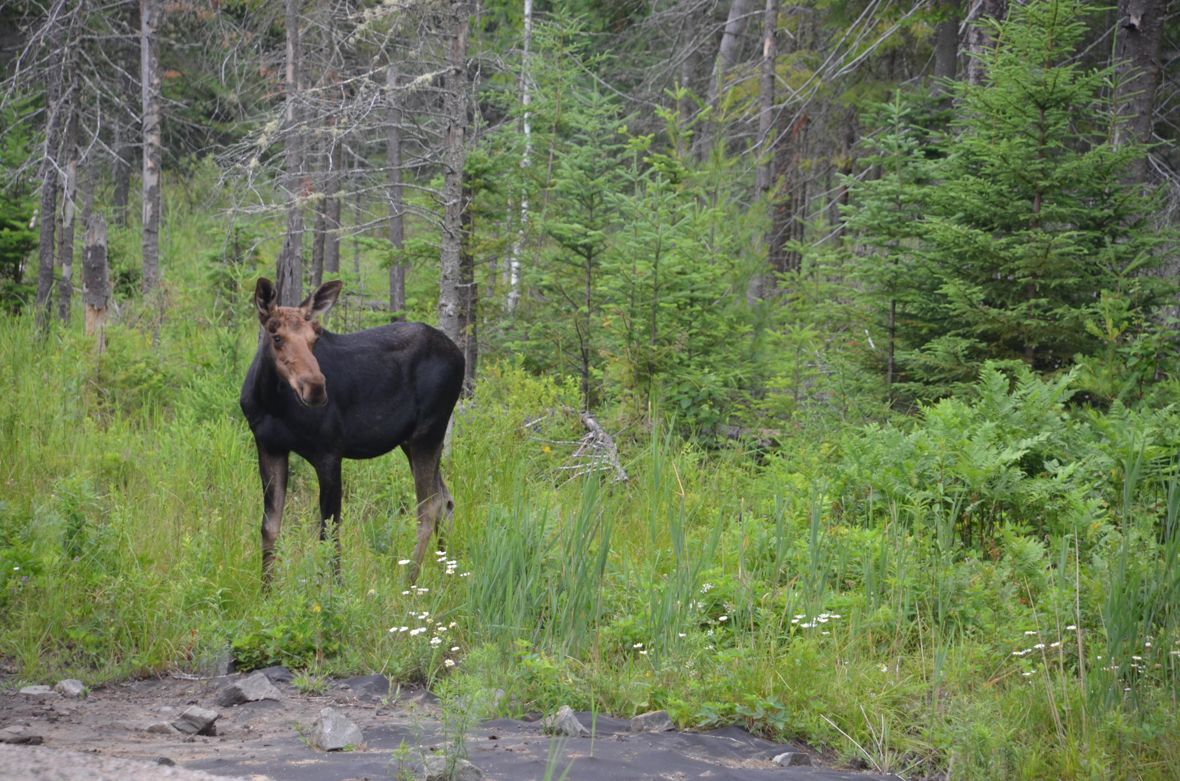 Eland Algonquin Canada