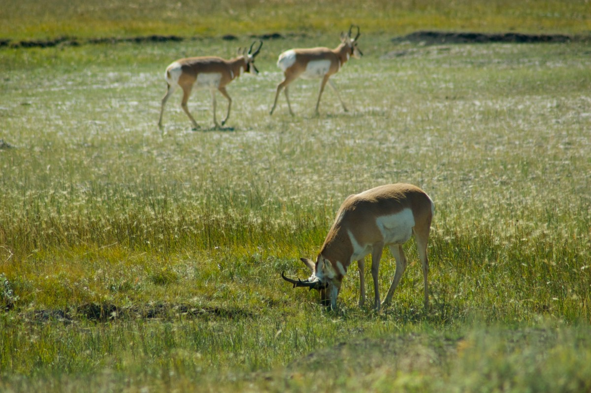 Pronghorns, Yellowstone