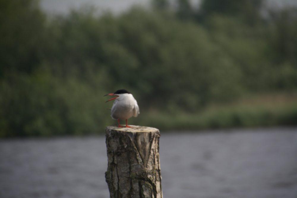 Vogel, Alde Feanen