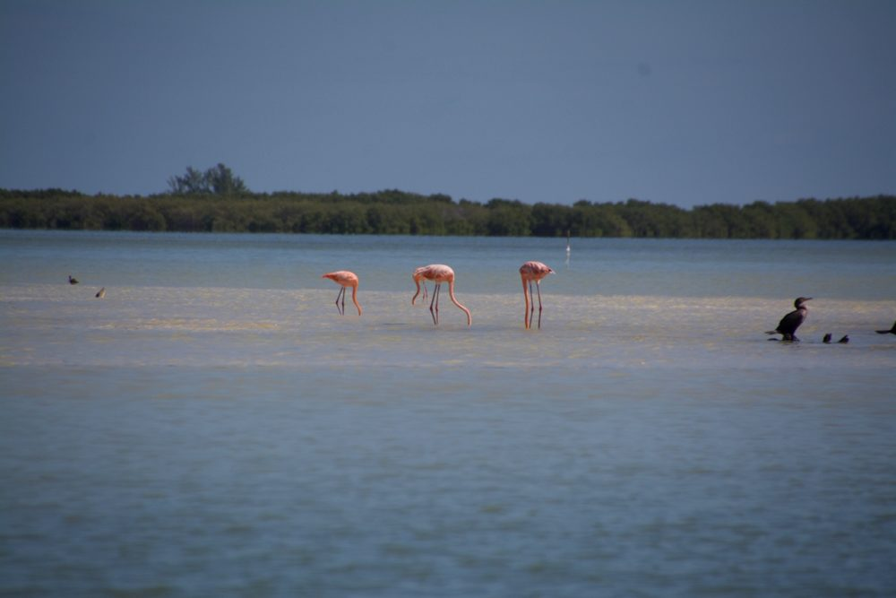 Isla Holbox Mexico flamingo's