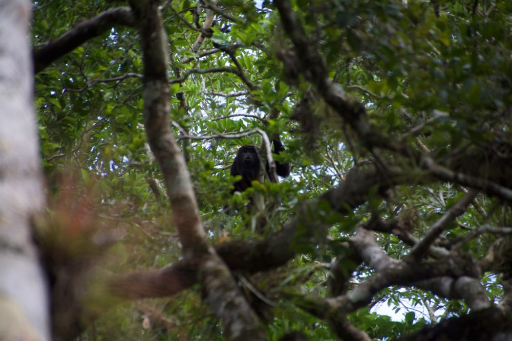 Calakmul Mexico monkeys