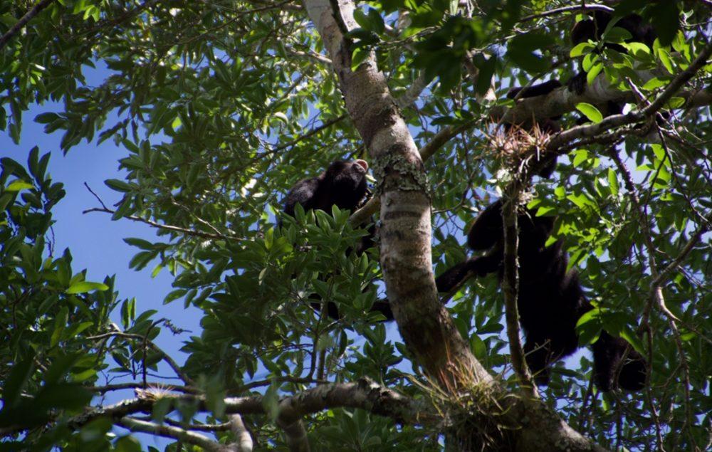 Calakmul Mexico monkey