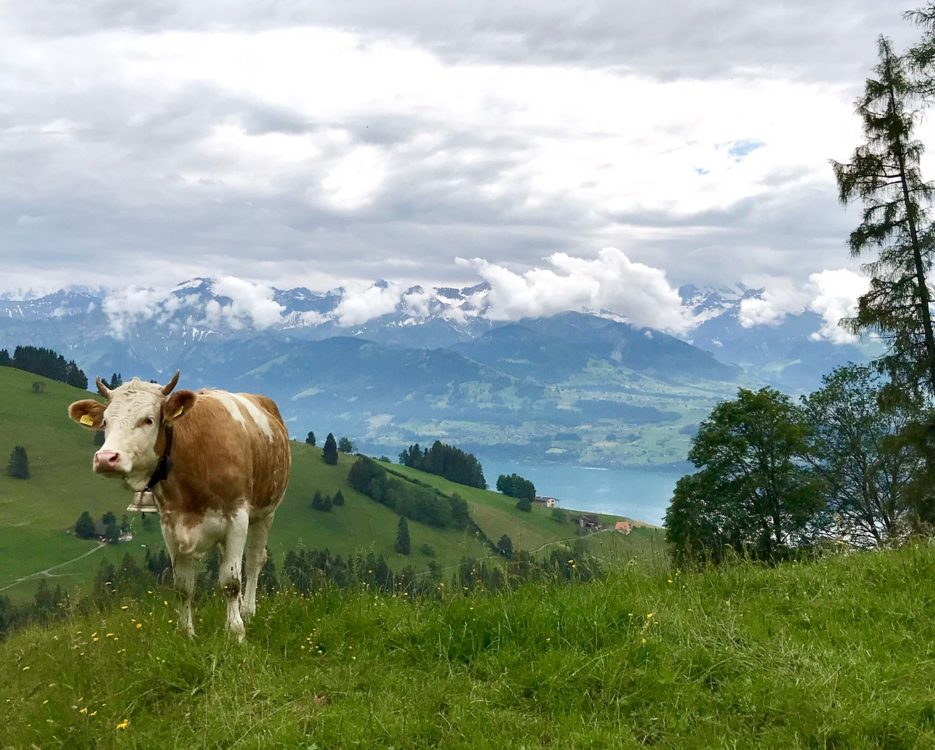 Cows Switzerland