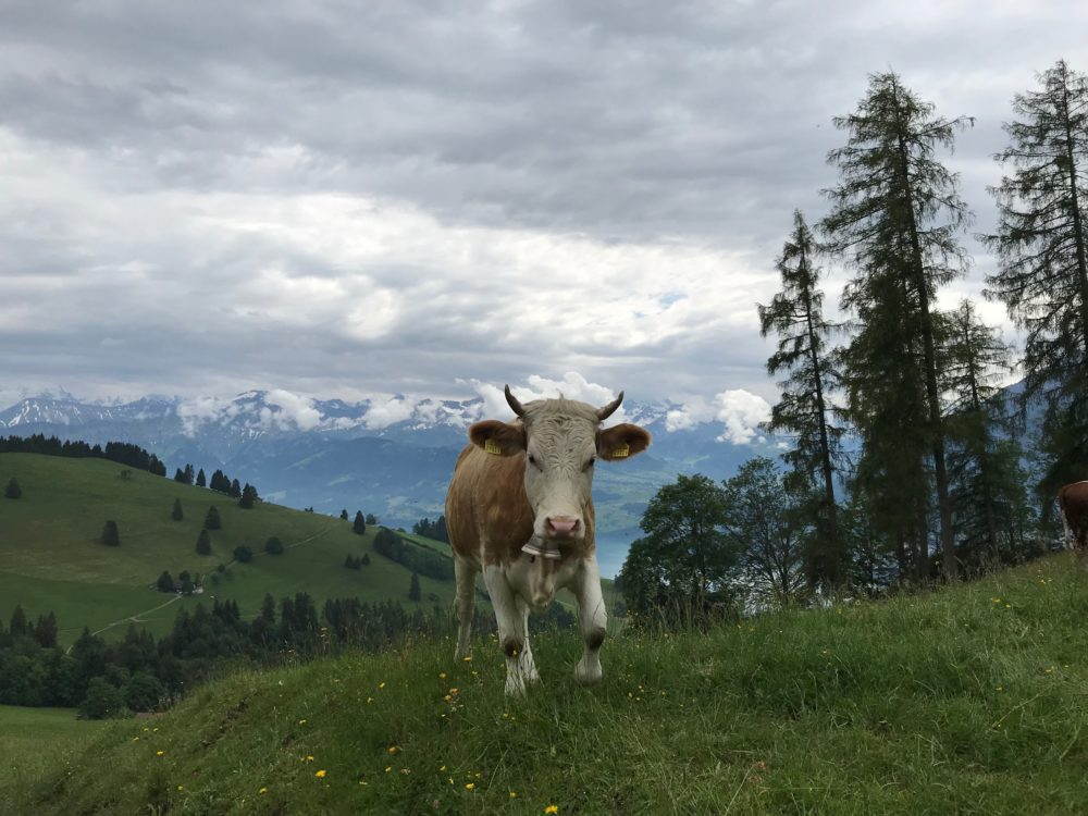 Cows Switzerland