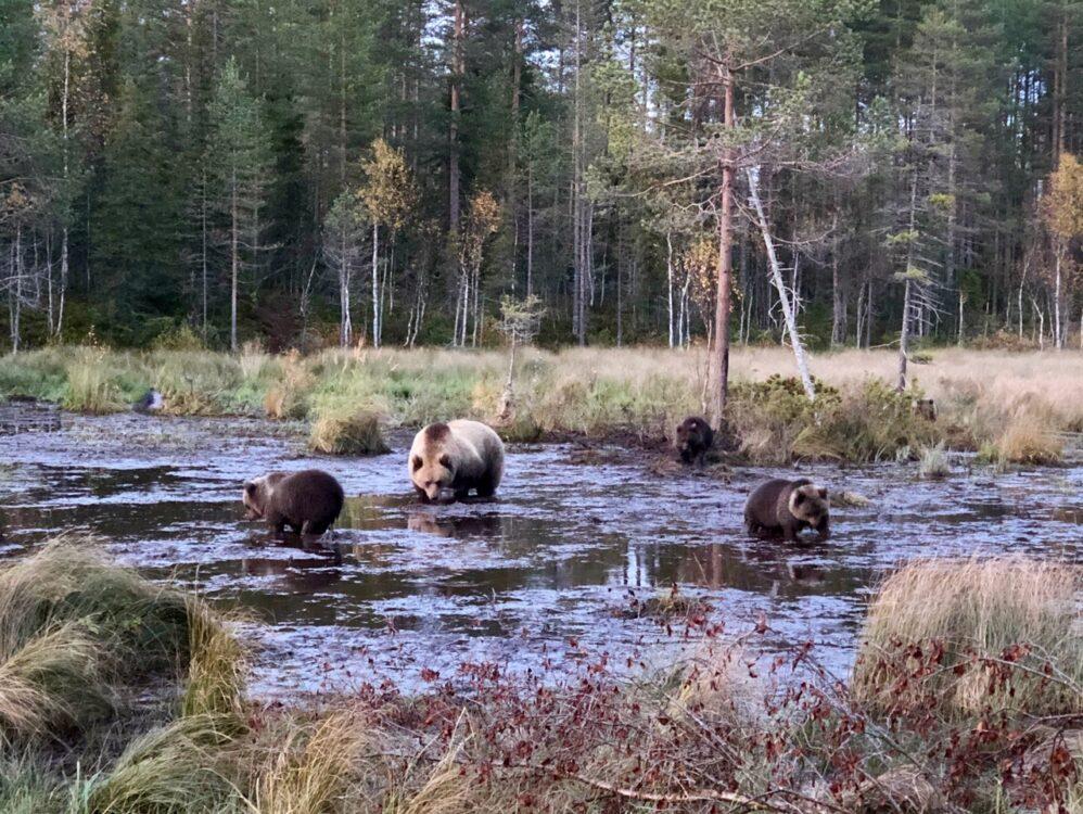 Beren spotten in Finland