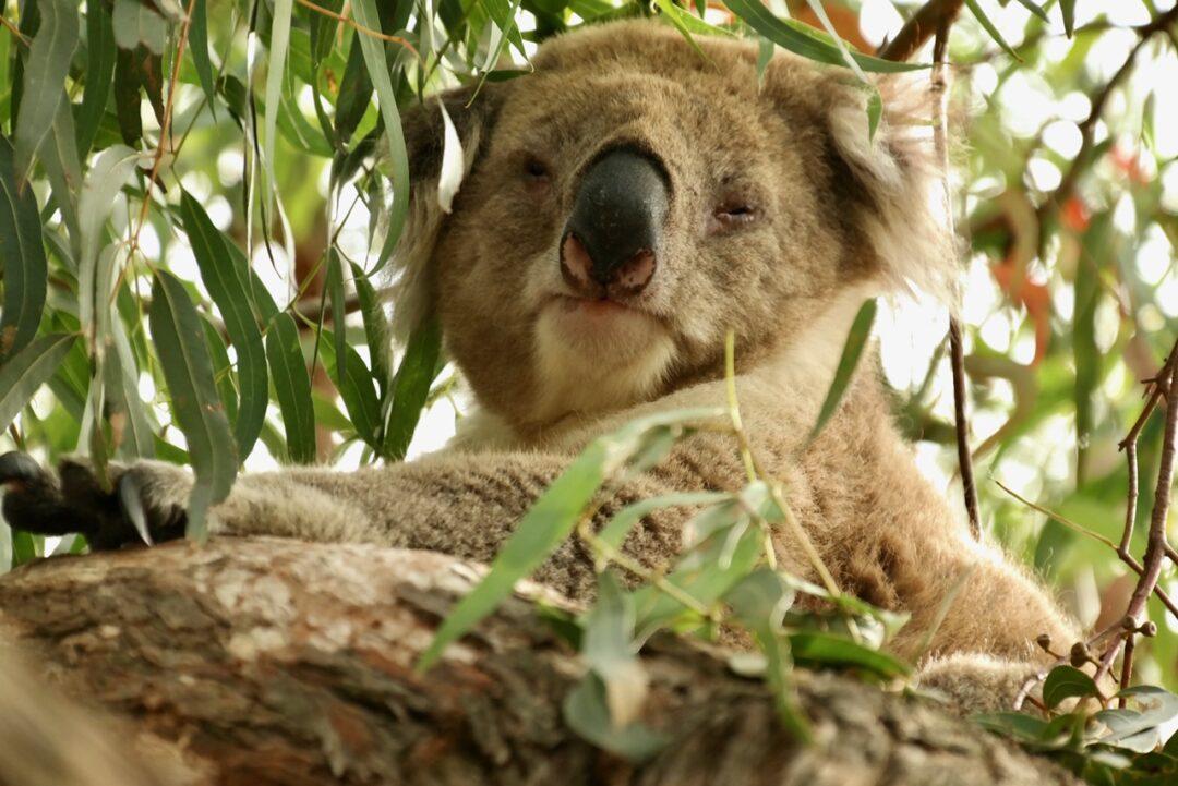 Koala Walk Raymond Island Australia